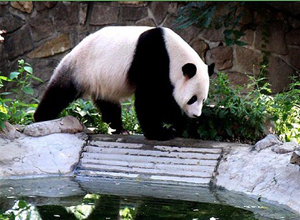 Pandas at Beijing Zoo