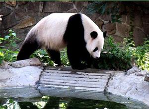 Pandas at Beijing Zoo
